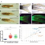 Zebrafish figure showing different morphologies.